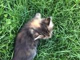 Кішки, кошенята Невідома порода, ціна 0.10 Грн., Фото