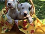Собаки, щенята Аргентинський дог, ціна 10000 Грн., Фото