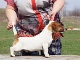 Собаки, щенки Джек Рассел терьер, цена 12000 Грн., Фото