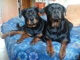 Собаки, щенки Ротвейлер, цена 1000 Грн., Фото