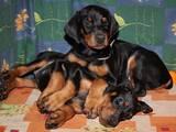 Собаки, щенята Доберман, ціна 1000 Грн., Фото