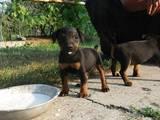 Собаки, щенята Ягдтер'єр, ціна 550 Грн., Фото