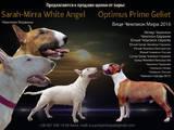 Собаки, щенята Бультер'єр, ціна 25000 Грн., Фото