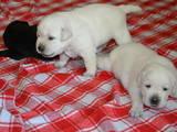Собаки, щенки Лабрадор ретривер, цена 9000 Грн., Фото