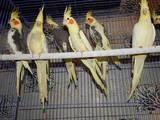 Попугаи и птицы Попугаи, цена 200 Грн., Фото