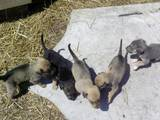 Собаки, щенки Русская борзая, цена 350 Грн., Фото