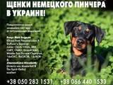 Собаки, щенки Пинчер, цена 12500 Грн., Фото