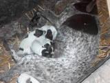 Собаки, щенки Немецкая гладкошерстная легавая, цена 100 Грн., Фото
