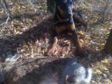 Собаки, щенята Ягдтер'єр, ціна 3900 Грн., Фото