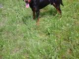 Собаки, щенята Російський хорт, ціна 6250 Грн., Фото