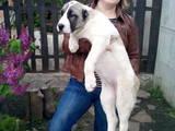 Собаки, щенки Среднеазиатская овчарка, цена 6999 Грн., Фото
