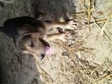 Собаки, щенята Російський хорт, ціна 2500 Грн., Фото