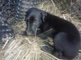 Собаки, щенята Грейхаунд, ціна 5000 Грн., Фото