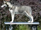Собаки, щенки Сибирский хаски, цена 10000 Грн., Фото