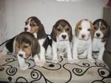 Собаки, щенята Бігль, ціна 4500 Грн., Фото