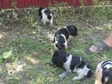 Собаки, щенки Русский спаниель, цена 550 Грн., Фото