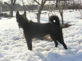 Собаки, щенки Русско-Европейская лайка, цена 16000 Грн., Фото