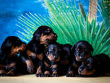 Собаки, щенки Доберман, цена 5000 Грн., Фото