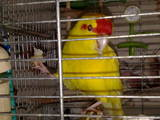 Папуги й птахи Папуги, ціна 450 Грн., Фото