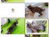 Кошки, котята Бенгальская, цена 17000 Грн., Фото