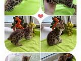 Кішки, кошенята Бенгальськая, ціна 17000 Грн., Фото