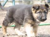 Собаки, щенки Восточно-Европейская овчарка, цена 3000 Грн., Фото