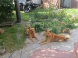 Собаки, щенята Західно-Сибірська лайка, ціна 7000 Грн., Фото