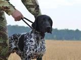 Собаки, щенки Немецкая гладкошерстная легавая, цена 6000 Грн., Фото