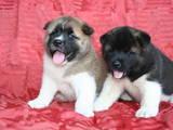 Собаки, щенята Американський акіта, ціна 30000 Грн., Фото