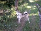 Собаки, щенята Західно-Сибірська лайка, ціна 3000 Грн., Фото