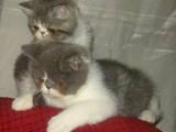 Кошки, котята Экзотическая короткошерстная, цена 17000 Грн., Фото