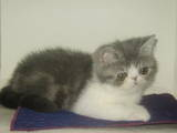 Кішки, кошенята Екзотична короткошерста, ціна 17000 Грн., Фото