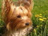 Собаки, щенята Йоркширський тер'єр, ціна 3900 Грн., Фото