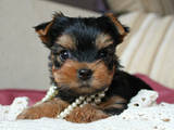 Собаки, щенята Йоркширський тер'єр, ціна 2300 Грн., Фото