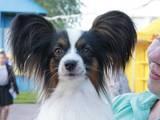 Собаки, щенки Папильон, цена 10000 Грн., Фото