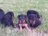 Собаки, щенки Вельштерьер, цена 2500 Грн., Фото