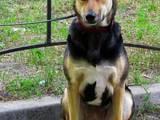 Собаки, щенки Немецкая овчарка, цена 50 Грн., Фото