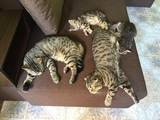 Кішки, кошенята Шотландська висловуха, ціна 1400 Грн., Фото