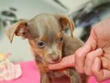 Собаки, щенята Російський гладкошерстий тойтерьер, ціна 3000 Грн., Фото