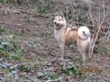 Собаки, щенята Західно-Сибірська лайка, ціна 1700 Грн., Фото