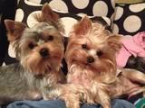 Собаки, щенки Йоркширский терьер, цена 2300 Грн., Фото