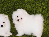 Собаки, щенята Померанський шпіц, ціна 22000 Грн., Фото