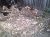 Собаки, щенята Ганноверська гонча, ціна 1500 Грн., Фото