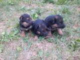 Собаки, щенята Німецька вівчарка, ціна 1000 Грн., Фото