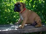 Собаки, щенки Боксер, цена 3750 Грн., Фото