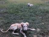 Собаки, щенята Салюк, ціна 5000 Грн., Фото
