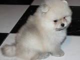 Собаки, щенки Померанский шпиц, цена 15000 Грн., Фото