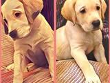 Собаки, щенята Лабрадор ретрівер, ціна 4950 Грн., Фото