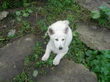 Собаки, щенята Західно-Сибірська лайка, ціна 2500 Грн., Фото