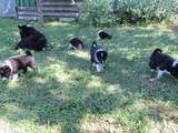Собаки, щенки Русско-Европейская лайка, цена 2000 Грн., Фото